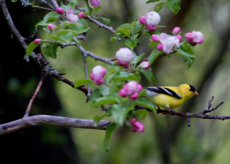 American Goldfinch, male, right facing, perched in blooming apple tree, May, Phippsburg, Maine