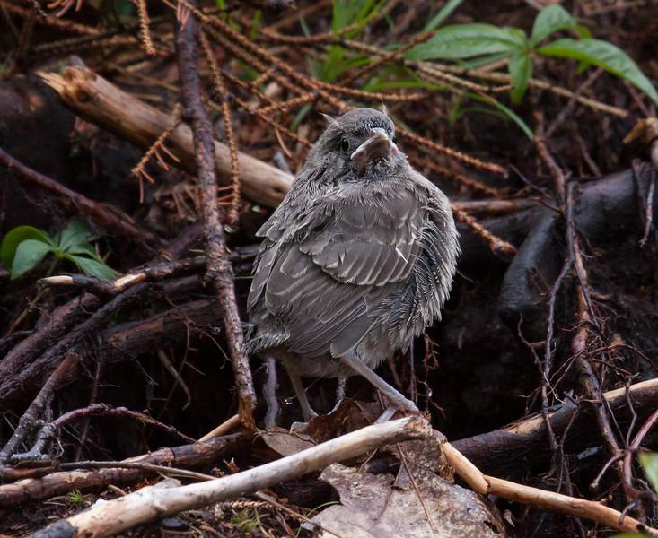 Brown-headed cowbird chick, Phippsburg, Maine, June 2010