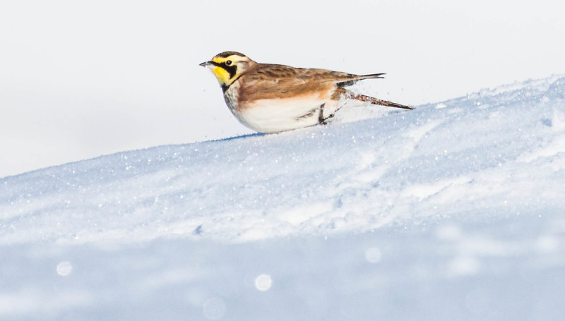 Horned Lark, Eremophila alpestris  in snow, Bath, Maine December. The only true lark native to North America, the Horned Lark is a common, widespread bird of open country.