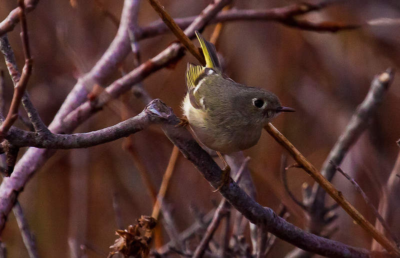 Northern Parula, female, perched, Phippsburg Maine