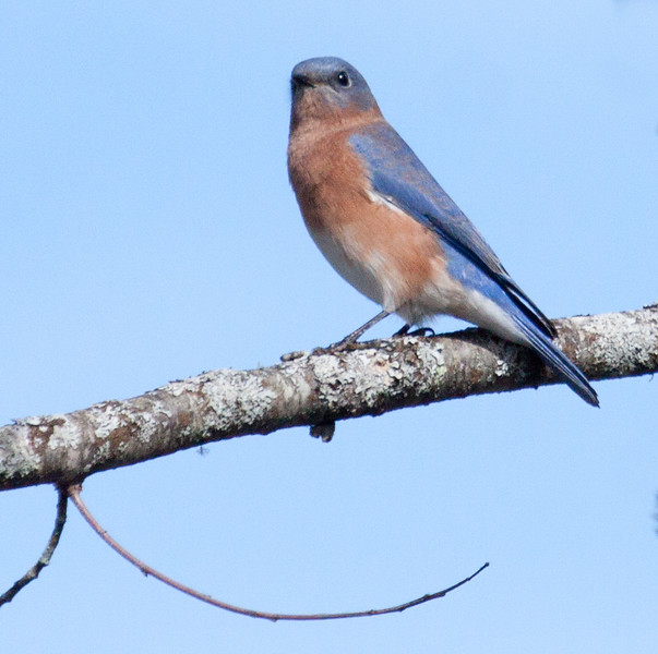 Eastern Bluebird, male, left facing, perched, Phippsburg, Maine, October, 2012