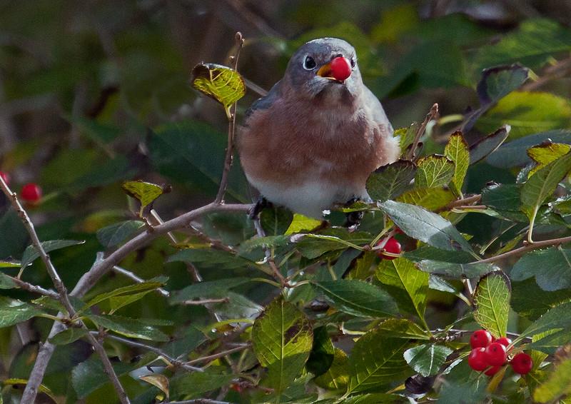 Eastern Bluebird, male, eating Winterberry, October, 2011, Phippsburg  Maine