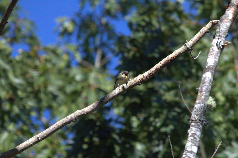 Eastern Phoebe vocalzing. Eastern Phoebes are migratory songbirds in Maine. September, Phippsburg Maine