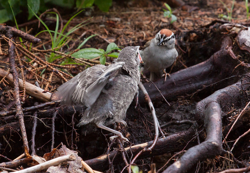 Brood parasitism at play - A Chipping sparrow female feeds a Brown-headed cowbird chick as her own. The Cowbird's mother laid her egg in the nest of the Chipping sparrow, which then raised the egg to hatching and adopted the chick.