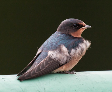 A juvenile Barn swallow, July Maine baby bird