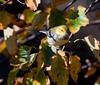 Northern Parula, Warbler, Phippsburg Maine
