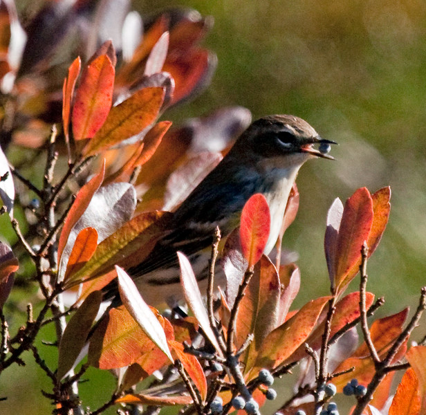 Yellow-Rumped Warbler with Bayberry, Phippsburg Maine