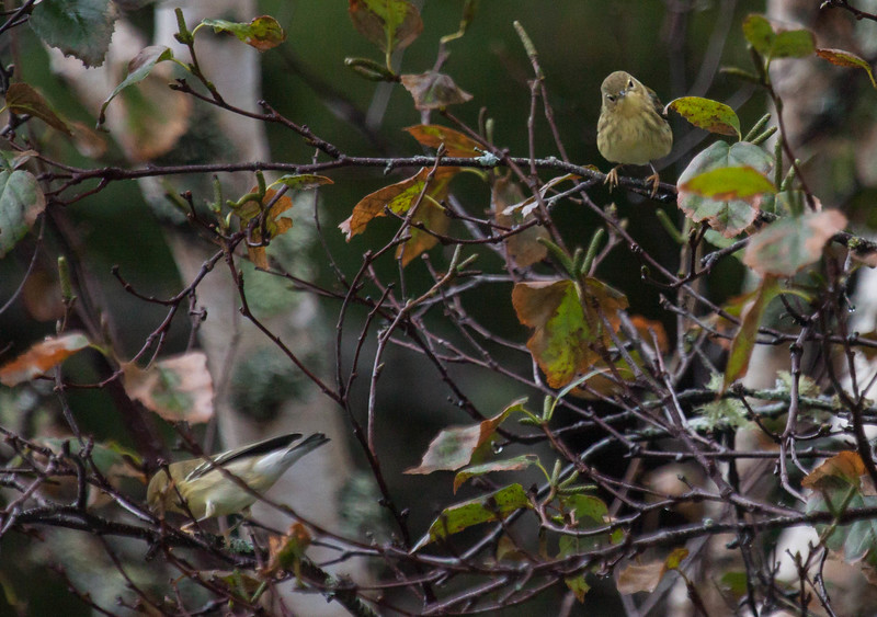 Blackpoll warblers, migtratory songbirds in Phippsburg, Maine