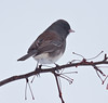Dark Eyed Junco perched on crab apple branch, rear view, right facing, winter bird, Phippsburg, Maine