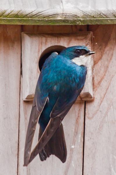 Tree Swallow entering nest box, Phippsburg Maine