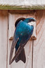 Tree Swallow entering nest box, Phippsburg Maine