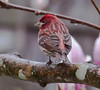 Purple finch, male from the back, perched, Phippsburg, maine
