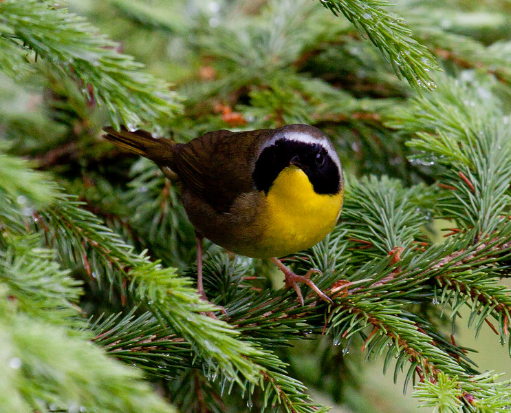 Yellow Throated warbler, male, close up frontal view, Phippsburg, Maine, May