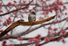 Eastern Phoebe sitting in the rain on tree branch, spring, Phippsburg, Maine. The red is maple flowers.