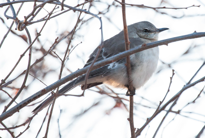 Northern Mockingbird, January 8