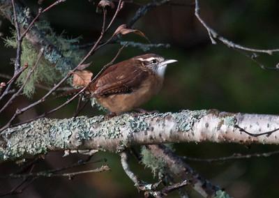 Carolina Wren, Phippsburg Maine during fall migration