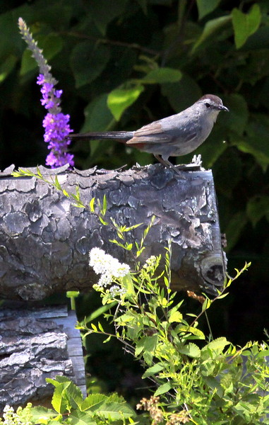 """Cat Bird And Purple Loosestrife """"Lysmachia"""" perched"""