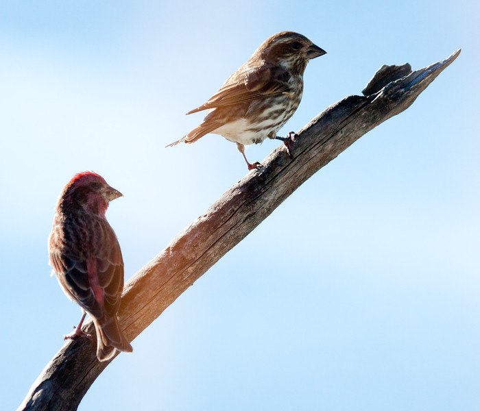 Purple Finches, Male & Female