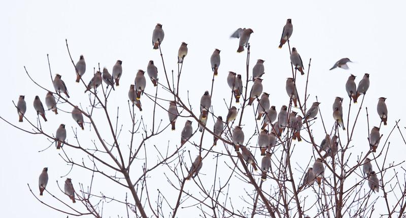 Bohemian Waxwing flock, Phippsburg Maine, February 2011