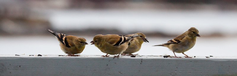 Flock of American Goldfinches with bird seed, males in non breeding plumage, Phippsburg, Maine