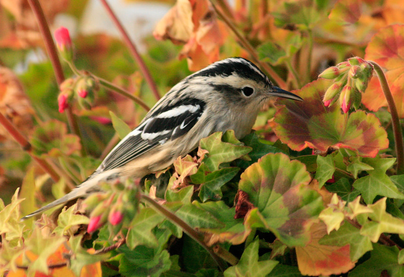 Black And White Warbler sitting in geraniums, close up, right facing, Phippsburg Maine migratory sonbird in fall