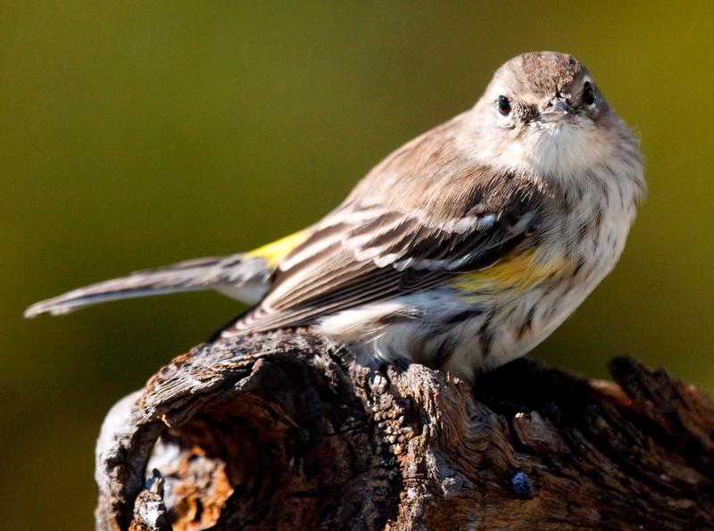 Warbler Yellow-Rumped Warbler