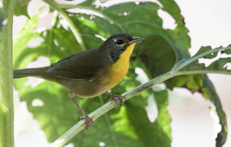 Common Yellowthroat Warbler, Geothlypis trichas.  Common Yellowthroat Warbler, Geothlypis trichas Phippsburg, Maine migratory songbird, female,  Common Yellowthroat warbler Geothlypis trichas