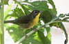 Common Yellowthroat Warbler, Geothlypis trichas.  Common Yellowthroat Warbler, Geothlypis trichas Phippsburg, Maine migratory songbird, female,  Common Yellowthroat warbler Geothlypis trichas