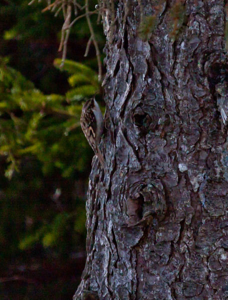 Brown Creeper, one of Maine's smallest and most cryptic birds, they are hard to spot on trees because they blend in so well. Though not a woodpecker, they do eat insects from cracks in bark on trees. Phippsburg Maine bird in winter