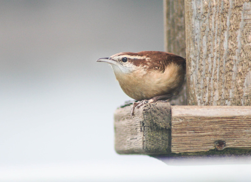Carolina Wren, Phippsburg, Maine. This bird was on January 5, 2007. It was very unusual to see this wren in the winter. It was around for about a week at the feeder.