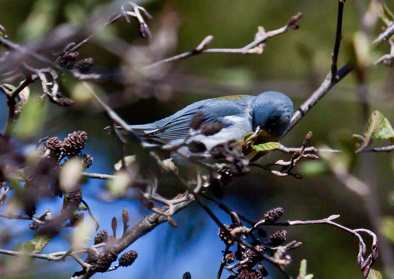 Northern Parula male gleening insects from Alder catkins, spring, Phippsburg, Maine migratory warbler