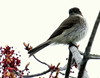 Eastern Phoebe And Maple Flowers