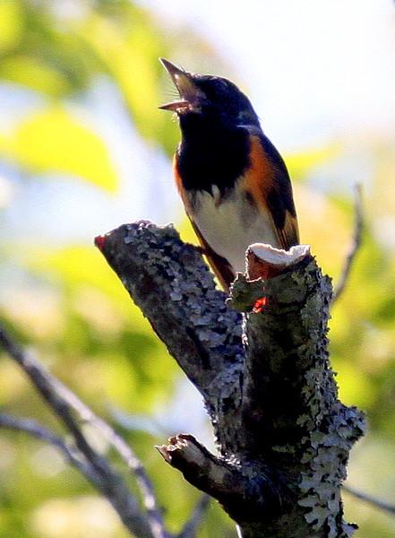American Redstart, Male Singingin
