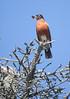 American Redstart,Setophaga ruticilla