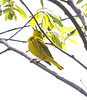 Yellow warbler singing its head off! Phippsburg Maine