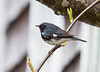 Black Throated Blue Warbler, Setophaga caerulescens Phippsburg, Maine migratory songbird