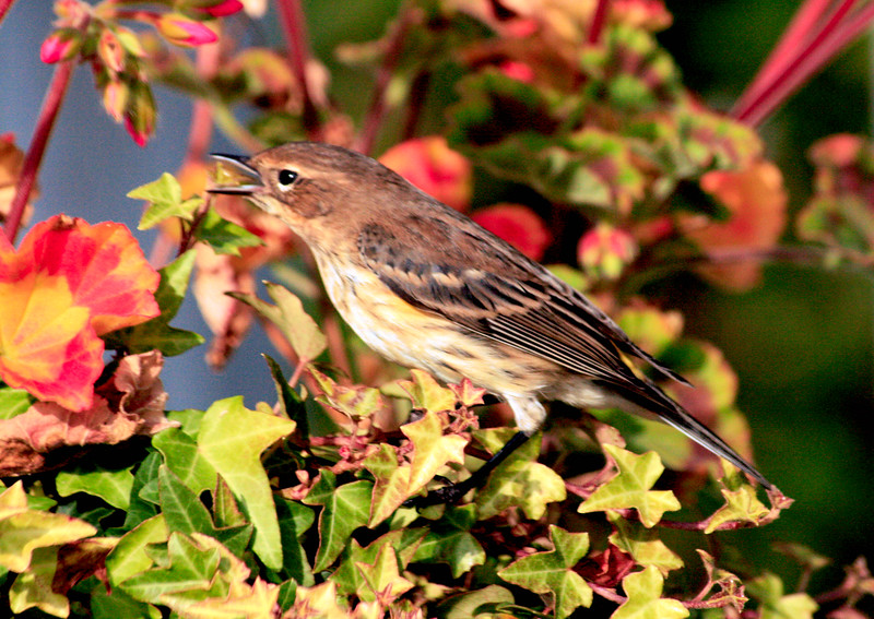 """Yellow-rumped """"Myrtle"""" warbler vocalizing, perched, left facing"""