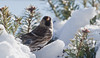 Common Redpoll male perched in snow in Balsam tips, Phippsburg, Maine winter scene