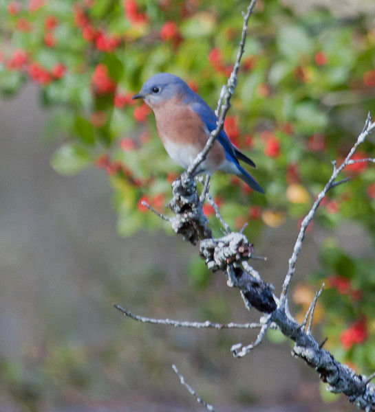 Eastern Bluebird perched on snag with lichen, red Winterberries in background, Phippsburg Maine migratory songbird in late fall