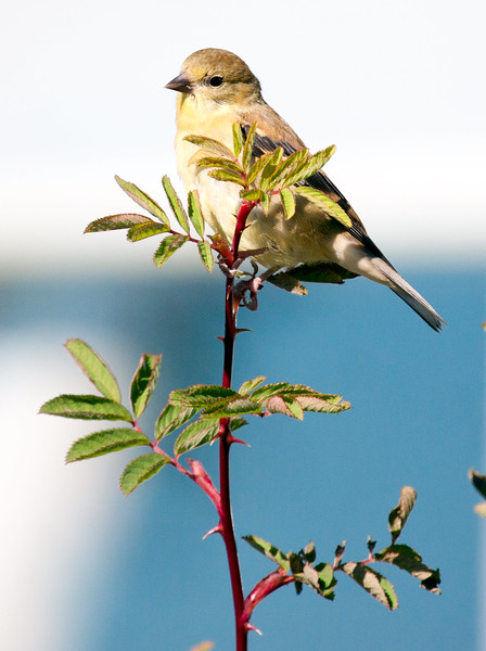 Goldfinch In Fall