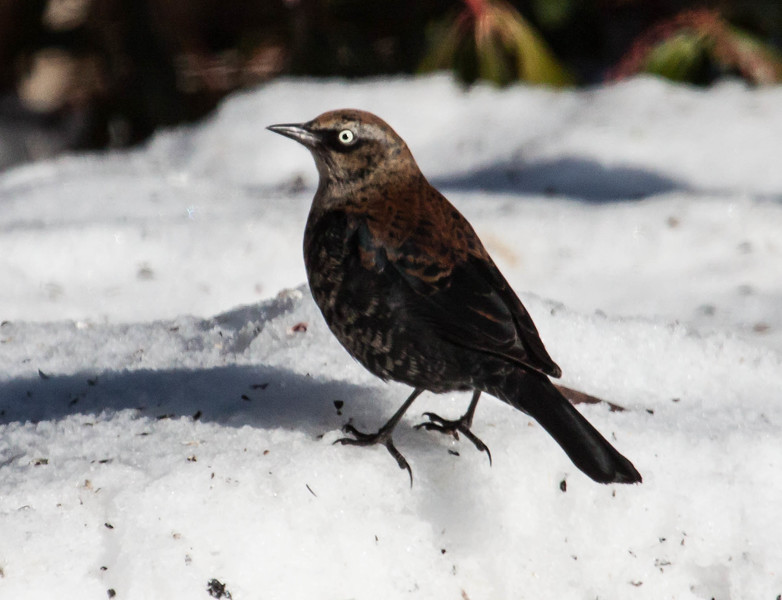 A lone Rusty Blackbird has continued as a daily visitor at my feeders for six consecutive days. It is fond of the cracked corn and black-oiled sunflower seeds on the ground. Phippsburg, Maine January 1, 2014
