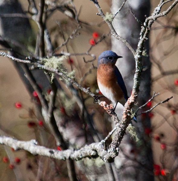 Eastern Bluebird, male, right facing perched, hardwood with lichen and riendeer moss and winterberry in the background, Phippsburg, Maine, October, 2012