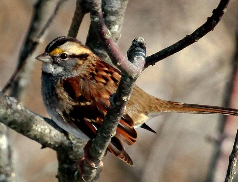 White-throat Sparrow