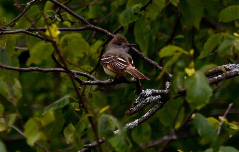 Great Crested flycatcher, Phippsburg Maine June, right facing