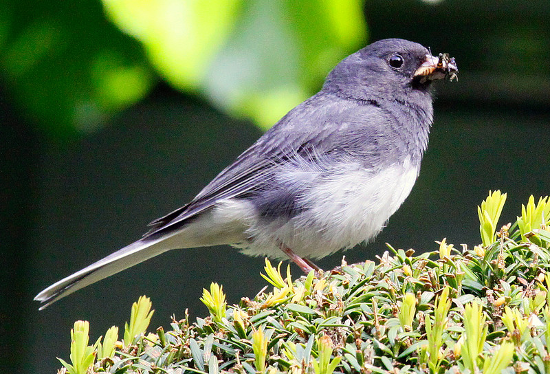 Dark Eyed Junco with insects for chicks, Phippsburg Maine