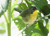 Common Yellowthroat Warbler, Geothlypis trichas.  Common Yellowthroat Warbler, Geothlypis trichas, female Phippsburg, Maine migratory songbird, female,  Common Yellowthroat warbler Geothlypis trichas
