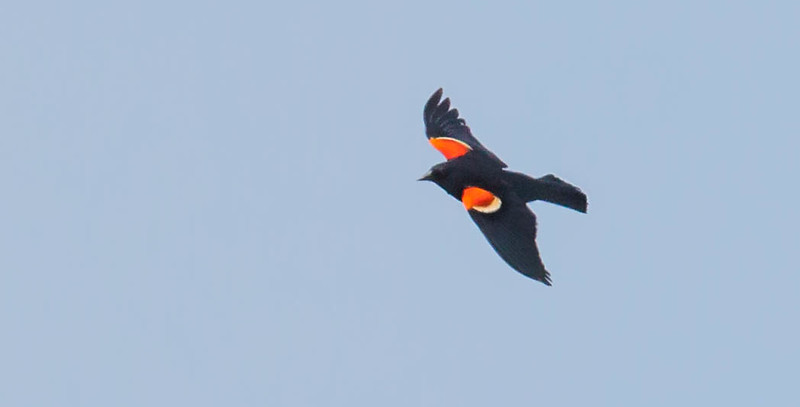 Red Winged Blackbird in flight, male, red epalettes showing, spring, Phippsburg Maine