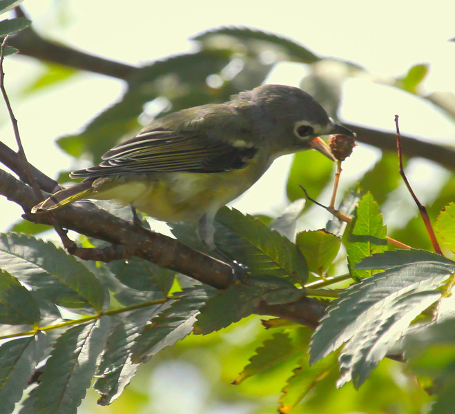 Vireo With Mountain Ash Berry