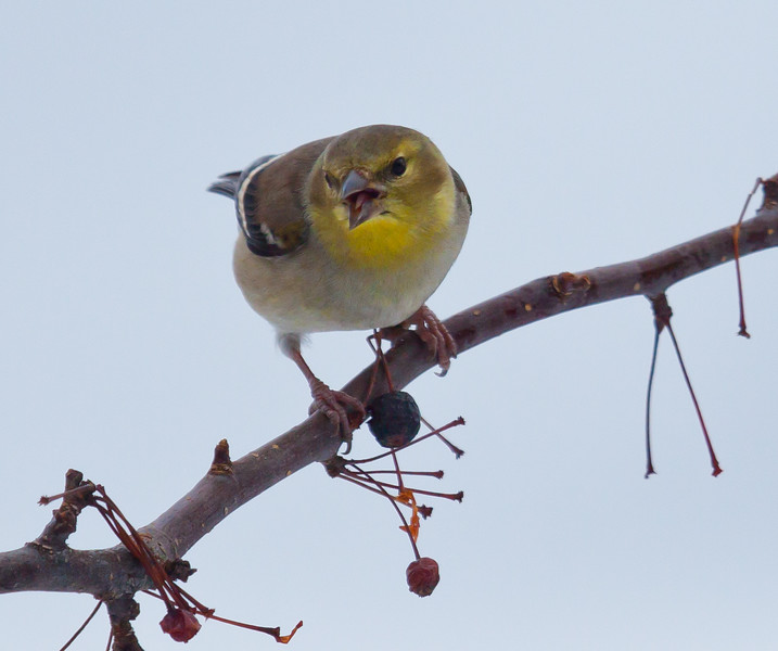 American Goldfinch, male in winter plumage vocalizing while perched on crab apple, Phippsburg, Maine winter