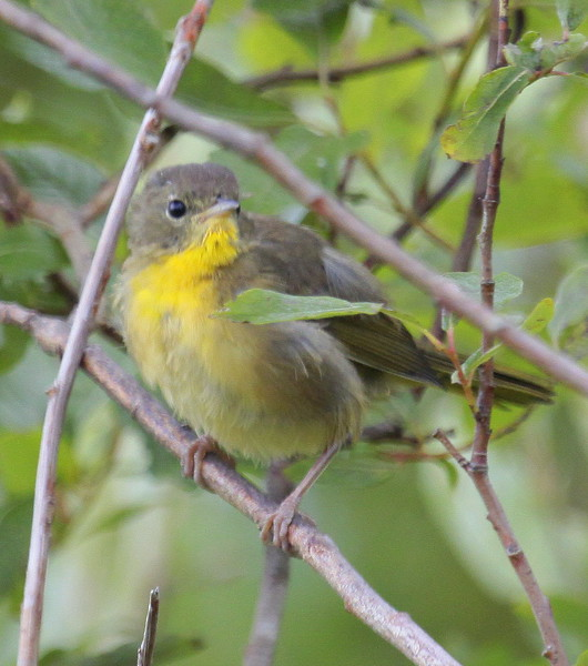 Common Yellow-throat Warbler, female